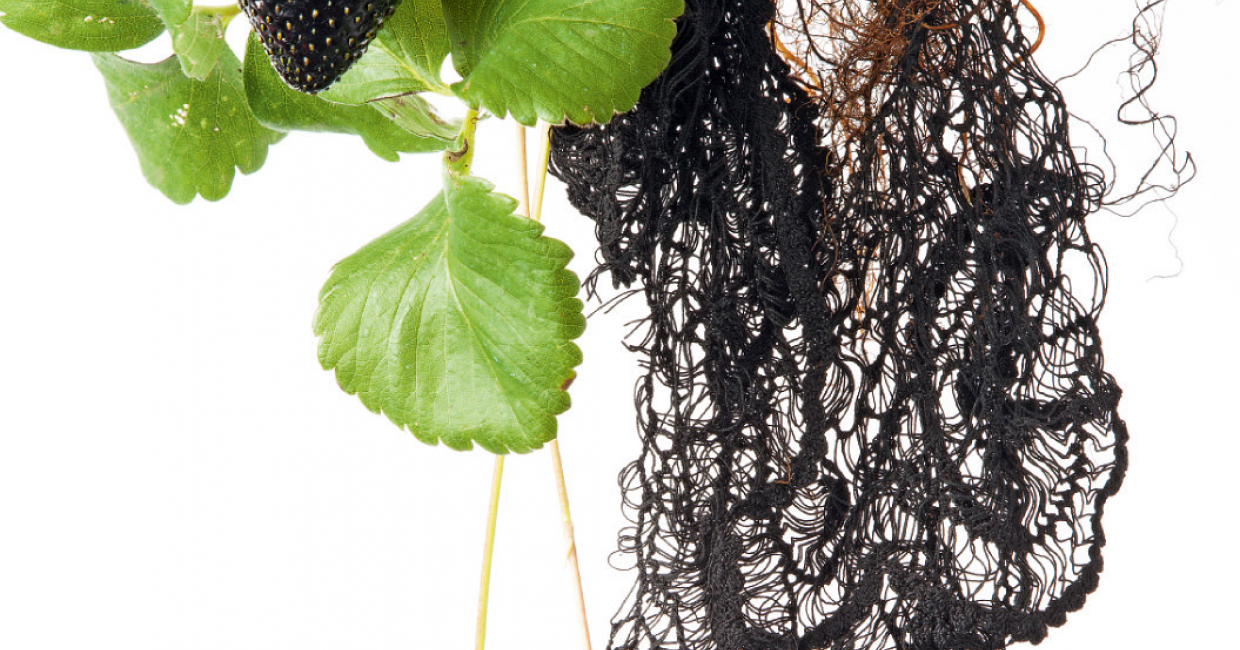 Envisioning a world of new genetically-engineered materials is Black Strawberry Lace by Carole Collet, from the Engineer Nature! trend